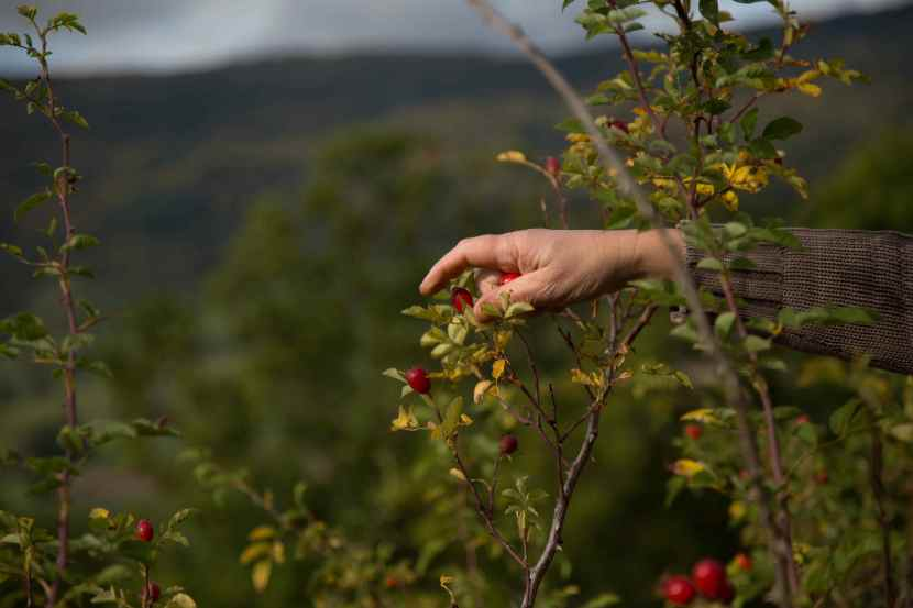 la main de Geneviève et le cynorrhodon... récolte des baies de rosiers sauvages sur le plateau du Retord, en octobre 2013 - agence des ours